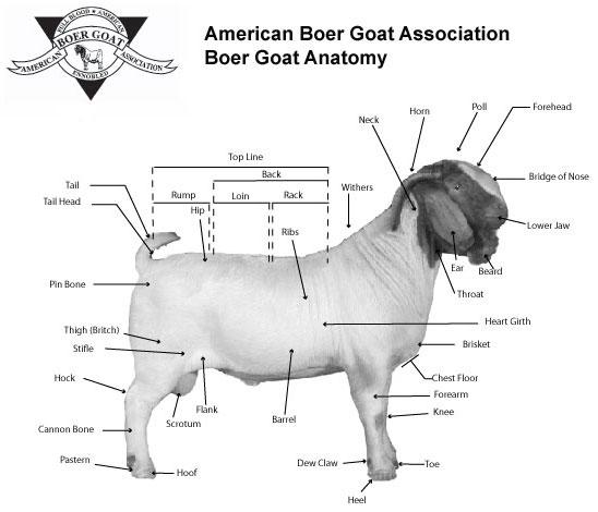 Dairy Goat Judging Techniques